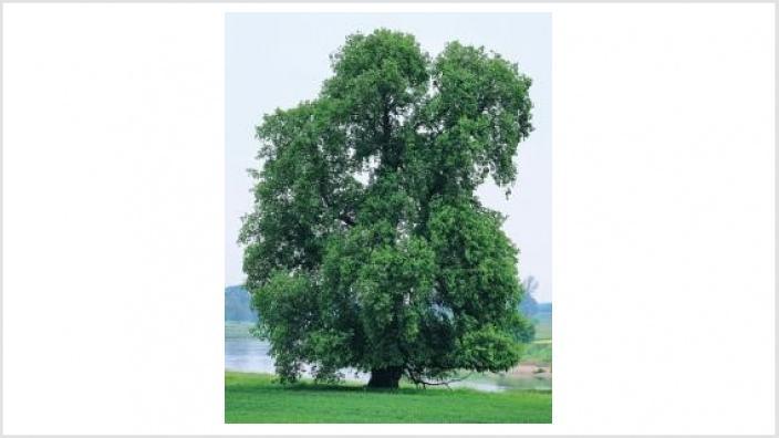 Baum des Jahres